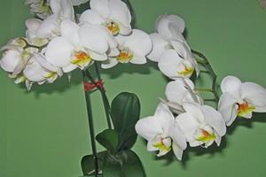 лечение орхидеи