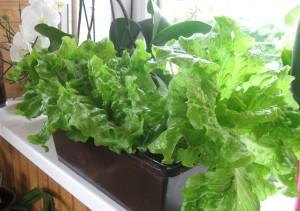 выращивание салата на балконе