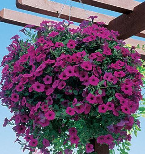Как вырастить рассаду петуний