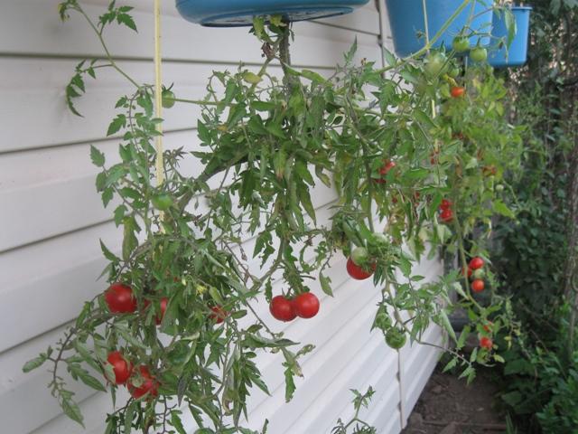 Вирощуємо помідори догори ногами